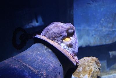 Oktopus beim Mittagsschlaf
