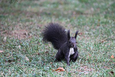 schwarzes eichhörnchen